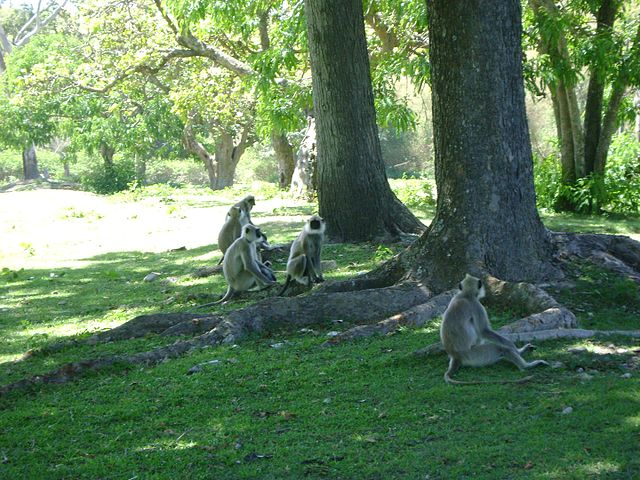 Gray_langurs_in_Bandipur_Forest